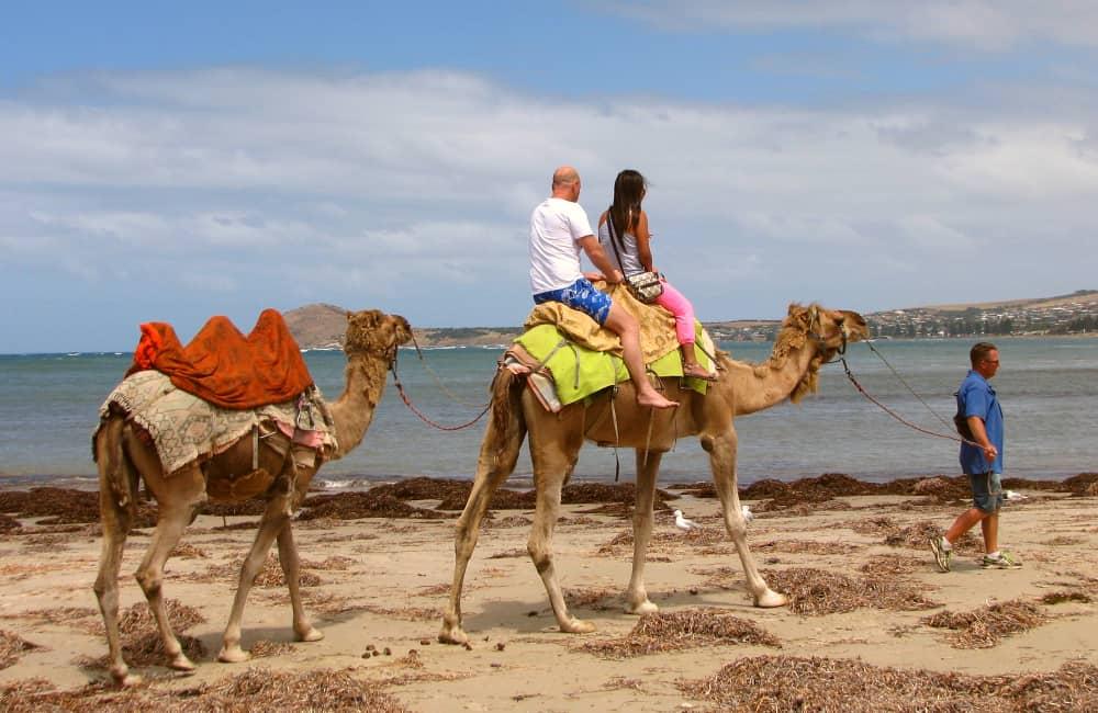 tourist camel riding in australia