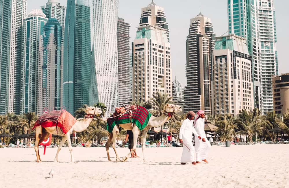 uae camels on beach with skyscrapers