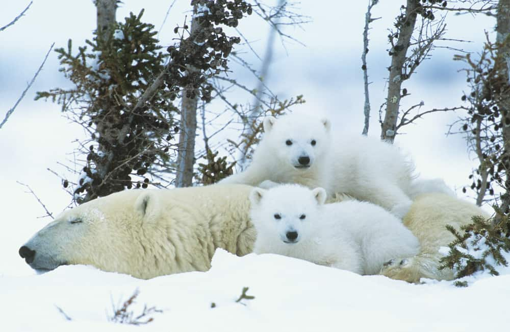wildlife polar bears in Canada