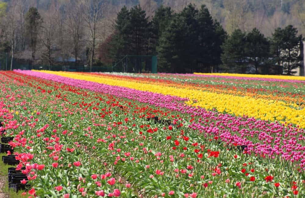 Tulip festival Ontario Canada