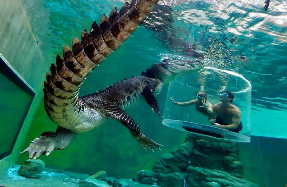 Swim Crocodile Crocosaurus Cove